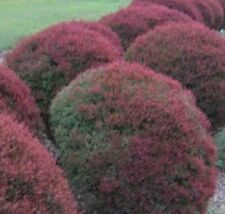 LITTLE RED Dwarf melaleuca hardy native highly perfumed plant in 140mm pot