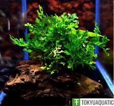 Bolbitis Heteroclita Difformis Driftwood Freshwater Live Aquarium Tropical Plant