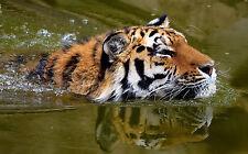 Enmarcado impresión tigre siberiano Natación (animal Big Cat Imagen Cartel ilustraciones)