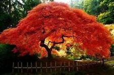 10 ACER GINNALA FLAME TREE SEEDS, OUTSTANDING AUTUMN LEAF COLOUR 10 SEEDS