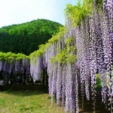 10pcs Wisteria Seed Garden Bonsai Tree Perennial Flower Home Decoration