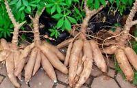 5x Sweet Yuca Cassava Cuttings Manihot Esculenta, edible plant.  Free Shipping!