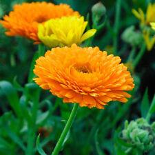 CALENDULA OFFICINALIS NR.300 SEMI SEMENTI DA FIORE FLOWER SEEDS FIORE RECISO