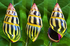 SHELLS landsnails, amphidromus mariae 39mm