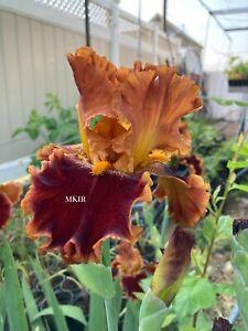 Tall Bearded Iris ~Copatonic ~