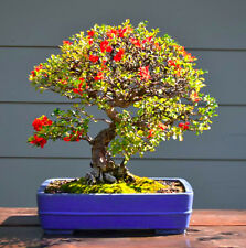 JAPANESE QUINCE - 30 bonsai seeds -  Chaenomeles japonica - shrub