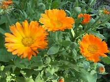 Calendula Officinalis - 100 Seeds -  Medicinal Pot Marigold