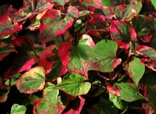 8-10 ROOTED PERENNIAL  CHAMELEON GROUND COVERS BEAUTIFUL MULTI COLORED FOLIAGE