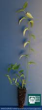 KERRIA JAPONICA cv. PLENIFLORA alveolo Kerria del Giappone