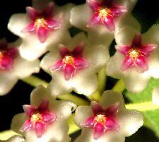 Hoya-Rarität Jungpflanze Nummularioides, blühfreudig+pflegeleicht, sold out!