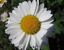 Heirloom 900 Seeds Annual Daisy Chrysanthemum leucanthemu White Flower Seeds