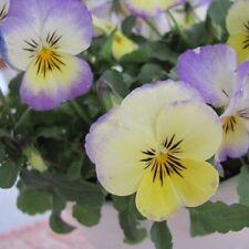PANSY Viola Maxima F2 Pastel Shades Seeds (F 443)
