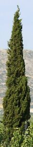 Cupressus sempervirens Totem Young Plant in 9cm Pot x 3 Plants/Pots