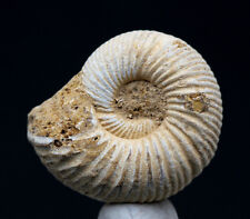 RARE RIBBED Ammonite Natural Whole White Nautilus Fossil Madagascar Jurassic