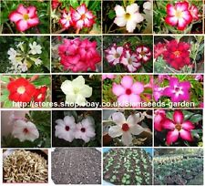 ADENIUM OBESUM 20 SEEDS MIXED UNKNOWN COLOR  FRESH VIABLE SEEDS FROM MY GARDEN