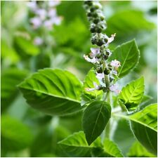 Holy Basil - Tulsi Herb - over 100 seeds - organic - ayurvedic - pollinator