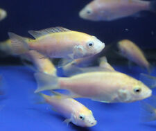 10 pack Live Mozambique Golden tilapia fish tank aquarium aquaponics hydroponics