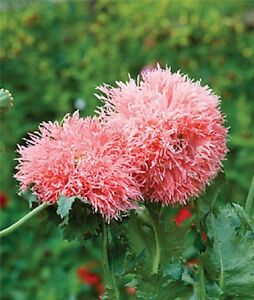 F0393 VENUS PAEONY POPPY x50 seeds LARGE DOUBLE FRILLY HEADS IN SPRING
