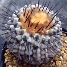 Real 20pcs Mix succulent Plant Seeds Cactus Copiapoa columna-alba Care free