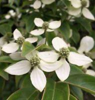White Kousa Dogwood Berry 50 seeds,zaden,samen,semi,sementes,semillas,graines