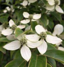 10 White Kousa Dogwood Berry seeds
