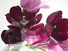Pink/Maroon Tulip Bouquet, Flower Photo 4x6