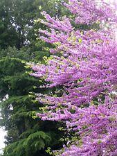 JUDAS TREE - Cercis Siliquastrum - 25 SEEDS