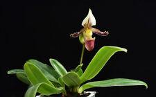 2 growths(a plant) Paphiopedilum tranlimianum