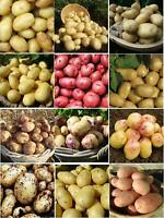 Seed Potatoes Red First Early Second Early Main Crop Good Harvest
