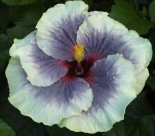 *Tahitian Taui* Rooted Tropical Hibiscus Plant*Ships In Pot*