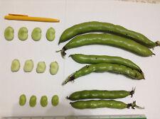 12 Mix Fava Bean Seeds - Vicia Faba - Best Varieties From Malta - Heirloom