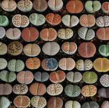 100 Rare Mix Lithops Seeds Living Stones Succulent Cactus Organic Bulk Seeds