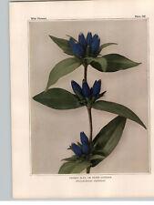 1934 Wildflower Book Plate Closed Blue Gentian Fringed Gentian