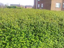 15 Lonicera Nitida  Hedging Box Honeysuckle Tree Plants, 20cm Tall, In 9cm Pots