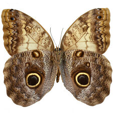 Real Caligo memnon Giant Owl Butterfly, Fast Shipping from Us, Unmounted