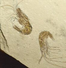 PAIR OF FOSSIL SHRIMPS FROM LEBANON.. 1589