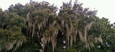 10 Gallons of Spanish Moss