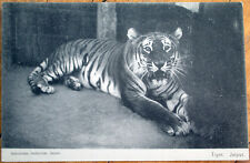 1910 Jaipur, Rajasthan, India Postcard: Tiger - Gobindram Oodeyram