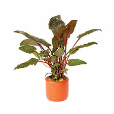 Crypt Wendtii Tropica 3cm Terracotta Pot Live Aquatic Plant Cryptocoryne