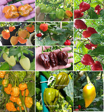Ultimate Habanero Chilli Collection - A Beautiful Colour Mix for Your Garden