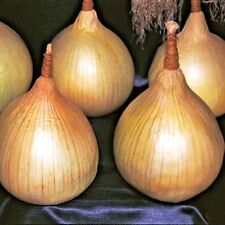 Vegetable Onion Ailsa Craig Appx 1250 seeds Competition onions