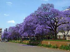 Blue Jacaranda Tree Seeds (50). Jacaranda mimosifolia. Non-GMO. Free Shipping!
