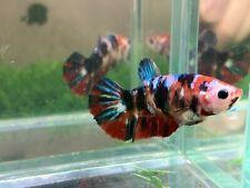 New listing [Ngf - 0989] Live Betta Fish Giant Red Koi Galaxy Female