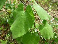 Florida Milkvine (Matelea floridana) ✤ 20 Pre-treated Seeds