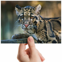 """Young Clouded Leopard Animal Small Photograph 6"""" x 4"""" Art Print Photo Gift #2306"""