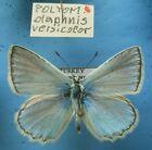 LYCAENIDAE POLYOMMATUS daphnis versicolor, m, ex TR - lp.!!!
