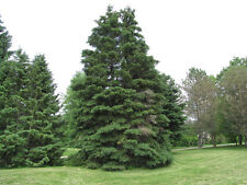 Spruce Tree Seeds - WHITE SPRUCE -Picea Glauca-  Coniferous Evergreen - 10 Seeds