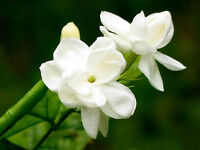 25 SEEDS ARABIAN JASMINE JUSMINUM SAMBAC WHITE SHRUB FLOWER SEEDS Multi petal