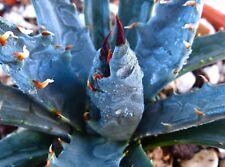 10 AGAVE UTAHENSIS BLU FORM semi seeds korn semillas RARE