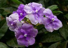 Brunfelsia pauciflora Compacta (Yesterday Today Tomorrow) x 1 plant
